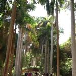 روعة الأشجار الباسقات  الممر الملوكي